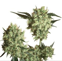 Sensiseeds Marleys Collie is a deliciously tropical Sativa/Indica hybrid created after two years of research by Sensi Seeds breeding staff in tribute to the late Bob Marley. Buy Cannabis Seeds, Cannabis Plant, Jamaica Music, Seed Bank, Bob Marley, Collie, Natural, Weed, Ganja