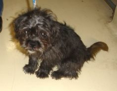 Terrier Terrier • Adult • Male • Small San Angelo Animal Shelter San Angelo, TX