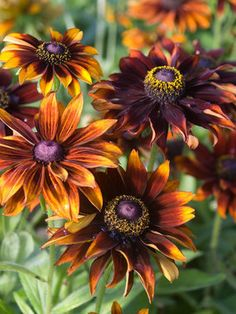 Rudbeckia 'Moreno' Blooms from early summer to fall. Birds love the ripened seed pods.  Zones 5-8