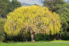 Golden Weeping Willow~ This majestic-looking tree is great for naturalizing ponds, wetlands or just giving some fast shade. Weeping Willow, Willow Tree, Garden On A Hill, Carmel Valley, Shade Trees, Garden Landscaping, Vineyard, Nature Photography, Shades