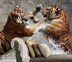 Zwiarzęta - walczące tygrysy