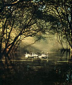 Looks like a scene from the story of Swan Lake Beautiful Swan, Beautiful Birds, Beautiful Pictures, Crafts Beautiful, Swans, Swan Lake, Faeries, Fairy Tales, Fantasy Books