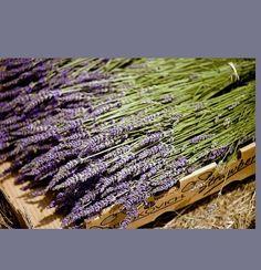 200 Stems  Dried French Lavender Wedding Decor Flower Centerpiece Table Arrangement