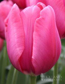 Don Quichotte Triumph Tulip