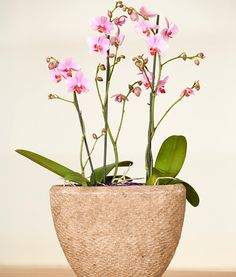 Phalaenopsis Orchid Plants | Beautiful Orchids Care