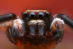 Focus stack of a male jumping spider