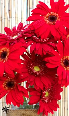 Red + Gerber Daisies + Summer + Perfect for patriotic holiday decor! Flowers