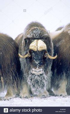 20+ bästa bilderna på Myskoxar | djur, djur vilda, gratis