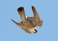 Big Pictures of Falcons Birds | Paragon Falcon Bird Pictures http://birds.fieldmuseum.org/media ...