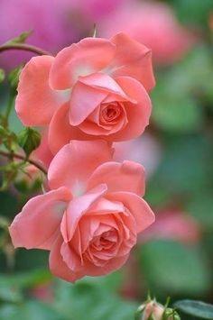 Güller, roses.