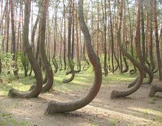 Crooked forest, Gryfino - Poland in Tessuto di Carta Rari 🌹 Lago Retba, Lago Baikal, Crooked Forest, Monte Fuji, Socotra, Earth Surface, Growing Tree, Wonders Of The World, Woodland
