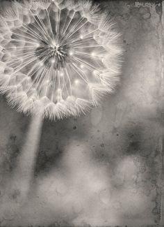 🌻 Đαndεlions - make a wish . dandelion by brandonsyn on Etsy Dandelion Clock, Dandelion Wish, Photography Flowers, Color Photography, Taraxacum, Black And White Flowers, Dandelions, Petunias, Make A Wish
