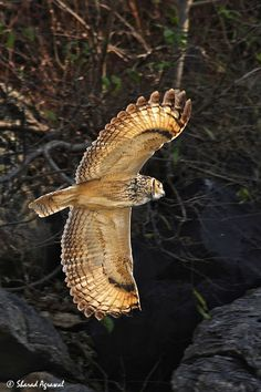 The Indian Eagle-Owl also called the Rock Eagle-Owl #owls