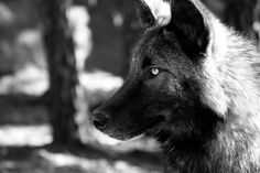 national geographic wolf - Google Search