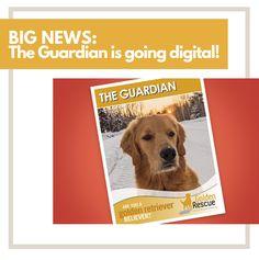"""The Guardian is going digital!!! Golden Rescue's colourful newsletter will be hitting your mailbox soon…but it can be hitting your inbox even sooner. If you're a Guardian subscriber, you will have already received this news and instructions on what to do. If you'd like to subscribe to our digital newsletter """"The Guardian"""", please visit our website by clicking the link. #goldenretriever #subscribe #newsletter #rescuedog Golden Retriever Rescue, The Guardian, Rescue Dogs, Digital"""