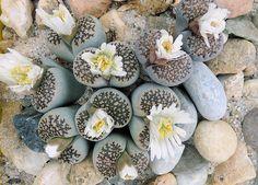 Lithops julii fulleri 10 seeds Rare Cactus Succulent Plant Garden Gift Flow