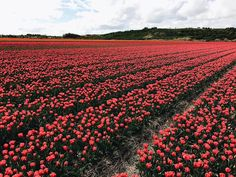 Big shoutout to @kileydevisser for this amazing picture of the tulips in the Netherlands! Send us your coolest travel pics for a chance to be featured!