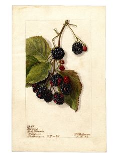 Department of Agriculture Pomological Watercolor Collection. Vintage Botanical Prints, Botanical Drawings, Botanical Art, Vegetable Illustration, Illustrations, Illustration Art, Fruits Images, Fruit Painting, Miniature Plants