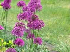 Decorative (Onion) Allium.