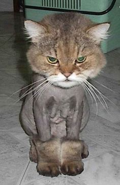Here is a daily dose of funny animal pictures of the day – Wackyy animal picdump . If you are an animal lover and looking for animal humor, then you like these funny animal pics and memes of the day. Here are 26 Funny memes animals Kitty Cute Kittens, Cats And Kittens, Ragdoll Kittens, Tabby Cats, Bengal Cats, Kitty Cats, Crazy Cat Lady, Crazy Cats, Hate Cats