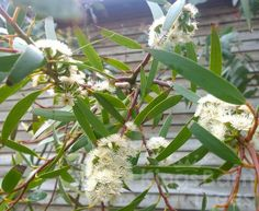 Eucalyptus gregsoniana - Wolgan Snow Gum has gone into mad full flower mode!  All Eucalyptus are flowering trees but this is one of the species that produces a particularly large mass of them!