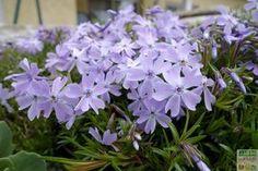 Le Phlox rampant est un couvre-sol à la belle floraison printanière: il forme en quelques années un coussin dense ou une cascade fleurie sur un muret. Comment le cultiver, le tailler et le multiplier ? #jardin http://www.jardipartage.fr/phlox-rampant-bleu/
