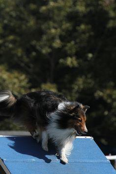 Shetland Sheepdog, by agilityfoot.