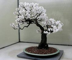 Flowering bonsai.