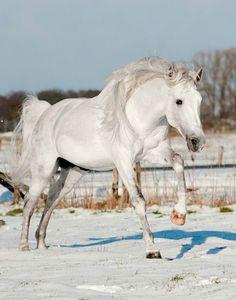 Pura Raza Española stallion, Unico LXX. photo: Ivonka Dopieralski.