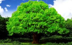 Oak_tree_by_attila0427