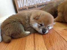 Shiba puppy sleeping
