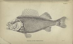 Muscles of the common perch. From New York Public Library Digital Collections.