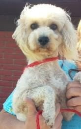 ***8/23/14 STILL LISTED***Buddy #3 Poodle Mix • Young • Male • Small Yorkies & Friends Rescue Orange, CA