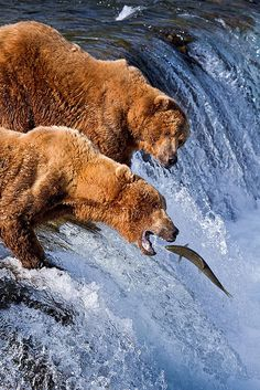 (Here fishy fishy fishy.) Two male bears fishing on top of Brooks Falls, Katmai National Park, Alaska // photo and non-parenthetical text by Gleb Tarassenko, 2009