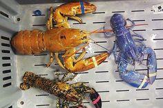 Die verschiedenen Farben sind genetisch bedingt: Hummer in Portland, Maine. (26. Juni 2012)