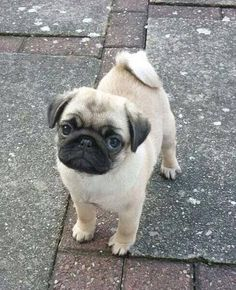 Pug puppy #cutepug #pugpuppy