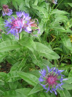 Centaurées - bleuets