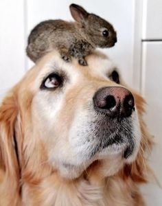 A tiny rabbit sitting on top of a dog's head.