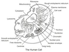 human cell coloring page from anatomy category select from 21297 printable crafts of cartoons