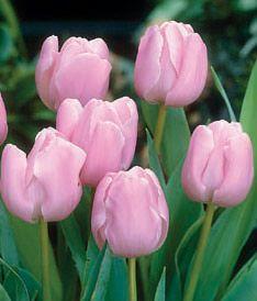 Tulipa 'Pink Diamond'
