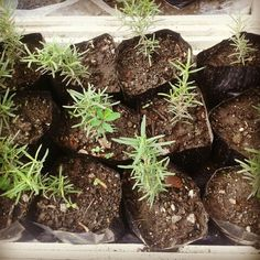No need for bottled rosemary! Get it fresh. Price starts at Php60/seedling. ♡ Visit www.herbalandherbs.com for more info. Cooking Herbs, Herbalism, Organic, Beef, Fresh, Desserts, Food, Herbal Medicine, Meat