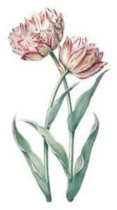 tulips drawing - for chest tattoo