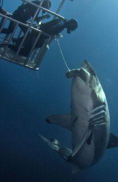 White Shark # cage diving hahahaha hahahaha  no. NO. YOU WILL HAVE TO DRAG ME KICKING AND SCREAMING  HAHAHAHA!!!!