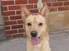TO BE DESTROYED 7/10/14  Brooklyn Center **NEW PHOTO**   My name is KINO. My Animal ID # is A1005546.  I am a male tan and white germ shepherd mix. The shelter thinks I am about 7 YEARS old.   **ONLY 30 POUNDS!**   I came in the shelter as a STRAY on 07/03/2014