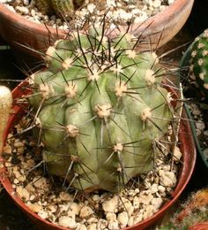 copiapoa brunnescens
