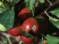 Apples are the perfect backyard fruit tree. Learn how to plant, grow, and harvest apples from The Old Farmer's Almanac. Planting Apple Trees, Growing Apple Trees, Growing Grapes, Apple Tree Care, Fresco, Apple Varieties, Old Farmers Almanac, Apple Harvest, Sun Perennials