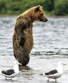 Just waiting for that sock-eyed salmon to pass by Nature Animals, Animals And Pets, Baby Animals, Funny Animals, Cute Animals, Animal Magic, My Animal, Bear Animal, Bear Pictures