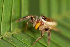This jumping spider