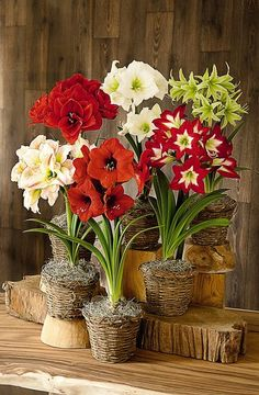 """Watching an amaryllis bulb come into flower is like seeing a horticultural miracle. It seems impossible that six or more enormous, 6-8"""" blooms could emerge from a single bulb. The fact that these dramatic flowers need no special attention or skill only adds to the magic! Enjoy this collection in your home this winter, or give as gifts to family and friends."""