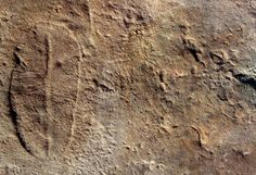 Flinders Ranges fossils of the 555 million years old  Ediacara Biota including Dickisononia, Parvancorina and Spriggina found in South Australia.